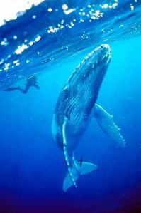 329_1young_curious_humpback_whale_calf
