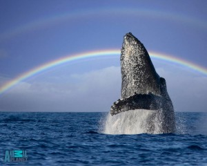 A humpback whale breachs off the coast of Maui, with a double rainbow.